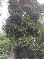 Agathis australlis-1-bsi-yercaud-salem-India.JPG