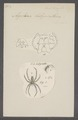 Agelena - Print - Iconographia Zoologica - Special Collections University of Amsterdam - UBAINV0274 068 05 0006.tif