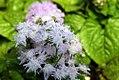 Ageratum houstonianum Blue Puffs 5zz.jpg
