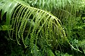 Aglaomorpha meyeniana kz6.jpg