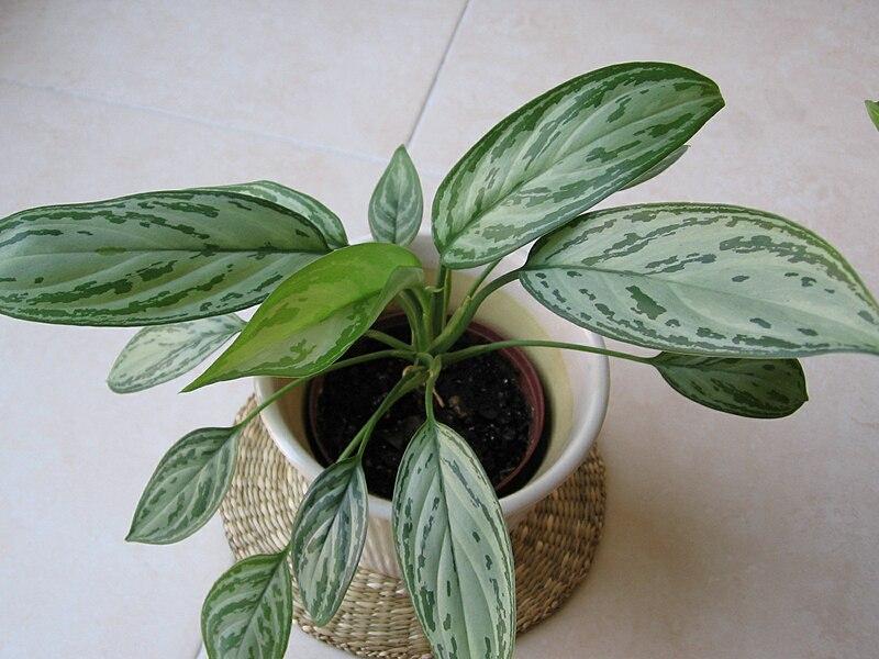 Indoor low light gardening plant profile aglaonema - Fotos de plantas de interior ...