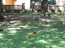 Agoutis sur l'île Royale, en Guyane.