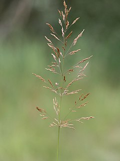 <i>Agrostis gigantea</i> species of grass