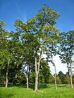 Ailanthus altissima.jpg