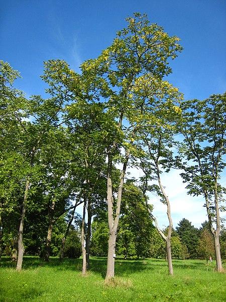 File:Ailanthus altissima.jpg