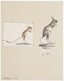 Alactaga jaculus - 1700-1880 - Print - Iconographia Zoologica - Special Collections University of Amsterdam - UBA01 IZ20500011.tif