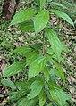 Alangium salviifolium leaves and flowers 04.JPG