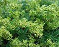 Alchimilla alpina 31072004 2.JPG