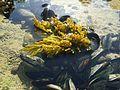 Algue brune , Cap ghir Agadir.jpg