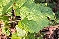 Alliaria petiolata in Aveyron (1).jpg