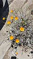 Allied Gardens California Golden Poppies.jpg
