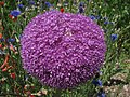 Allium 'Lucy Ball' Purple Flower Head 2816px.jpg