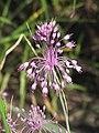 Allium carinatum subsp. pulchellum Czosnek nadobny 2009-07-11 04.jpg