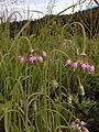 Allium cernuum - Nodding Onion 2.jpg