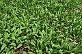 Allium tricoccum - Stouffville.jpg
