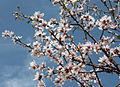 Almonds 1840.jpg