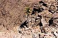 Aloe Dichotoma på Fish river canyon-0494 - Flickr - Ragnhild & Neil Crawford.jpg