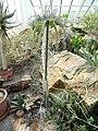 Aloe gillilandi - Botanischer Garten München-Nymphenburg - DSC08141.JPG