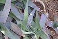 Aloe reynoldsii 1zz.jpg