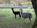 Alpacas at Ettrickhill House - geograph.org.uk - 1547628.jpg