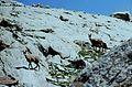 Alpes-Maritimes Saint-Martin-Vesubie Lacs Bessons Chamois - panoramio (1).jpg