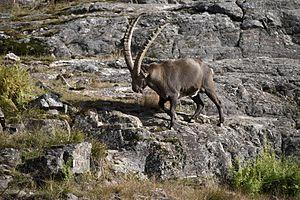 Alpine ibex - Alpine ibex