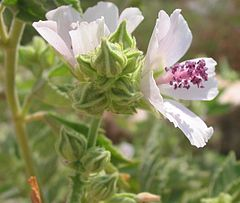 Oficina alteo, Althaea officinalis