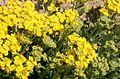 Alyssum montanum ENBLA08.jpg