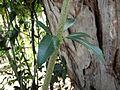 Alyxia spicata Kewarra 4564.jpg