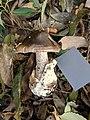Amanita fuliginea Hongo 803896.jpg