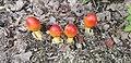 Amanita jacksonii - red mushrooms at Salem Lake in NC.jpg