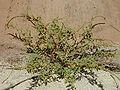 Amaranthus.spinosus1web.jpg