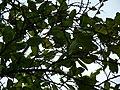 Ameixa de Madagascar (in Portuguese) (3112942898).jpg
