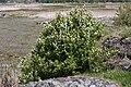 Amelanchier alnifolia 6475.JPG