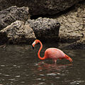 American aka Caribbean Pink Flamingo (Phoenicopterus ruber) (11452223676).jpg