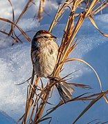 American tree sparrow in CP (41285) (cropped).jpg