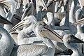 American white pelicans - panoramio.jpg