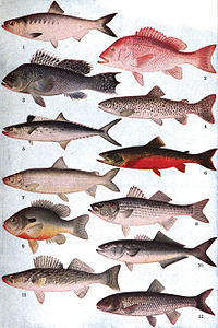Americana 1920 Fisheries - American Food Fishes.jpg