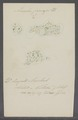 Amoeba princeps - - Print - Iconographia Zoologica - Special Collections University of Amsterdam - UBAINV0274 113 09 0019.tif