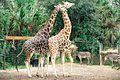 Amorous Giraffes (12240525485).jpg