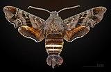 Amphion floridensis MHNT CUT 2010 0 11 Cherry Point Havelock, North Carolina male dorsal.jpg