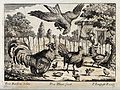 An eagle swooping for some chicks and being attacked by a co Wellcome V0022139.jpg