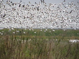 Anahuac National Wildlife Refuge - Snow geese flying in the refuge