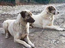 Anatolische Hirtenhunde.jpg