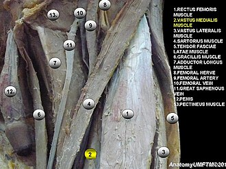 Vastus medialis - Image: Anatomical dissection 2
