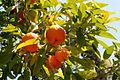 Andalousie - Oranges (1).JPG