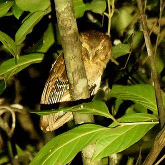 Andaman scops owl - Image: Andaman Scops Owl 03
