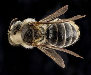 <i>Andrena krigiana</i> species of insect
