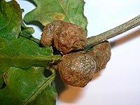 Äkämä ( Andricus lignicola ) erään tammen lehdellä