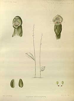 Androcorys gracilis (as Herminium gracile) - The Orchids of the Sikkim-Himalaya pl 438 (1889) - contrast.jpg